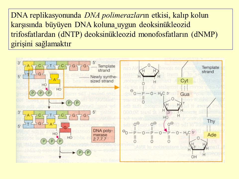 DNA replikasyonunda DNA polimerazların etkisi, kalıp kolun karşısında büyüyen DNA koluna uygun deoksinükleozid trifosfatlardan (dNTP) deoksinükleozid
