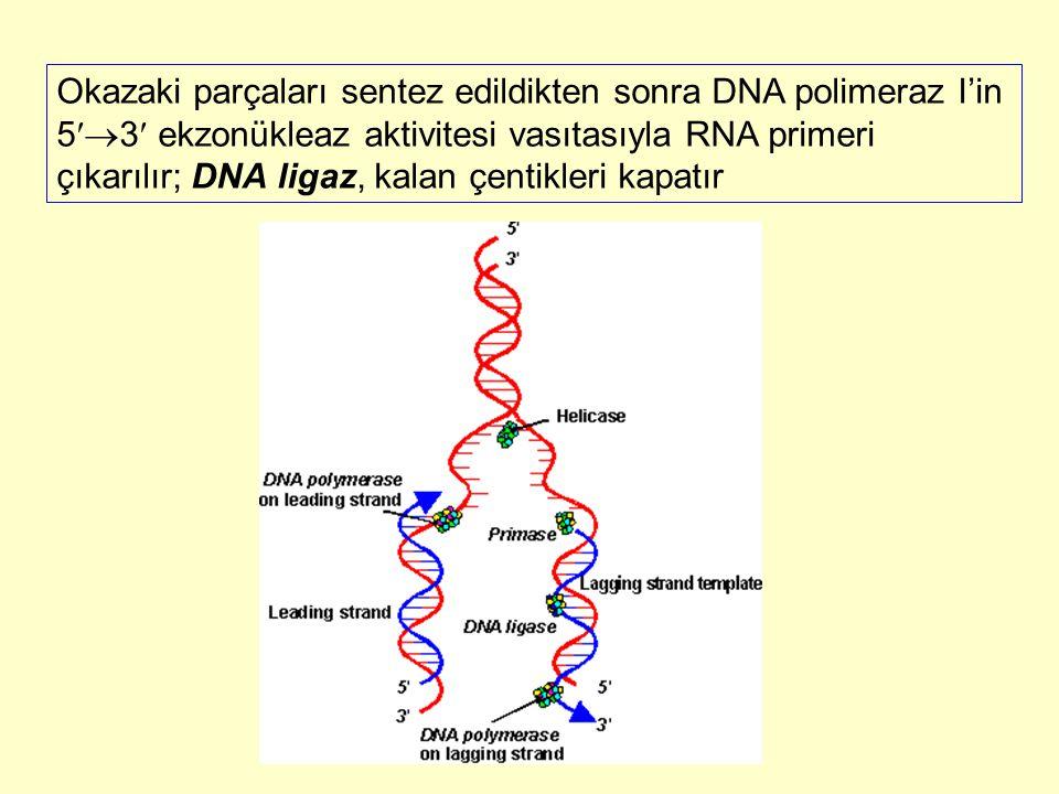 Okazaki parçaları sentez edildikten sonra DNA polimeraz I'in 5  3 ekzonükleaz aktivitesi vasıtasıyla RNA primeri çıkarılır; DNA ligaz, kalan çentikl