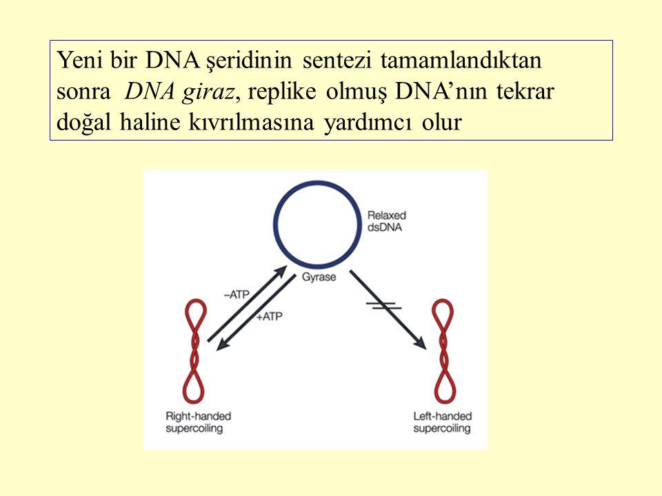 Yeni bir DNA şeridinin sentezi tamamlandıktan sonra DNA giraz, replike olmuş DNA'nın tekrar doğal haline kıvrılmasına yardımcı olur