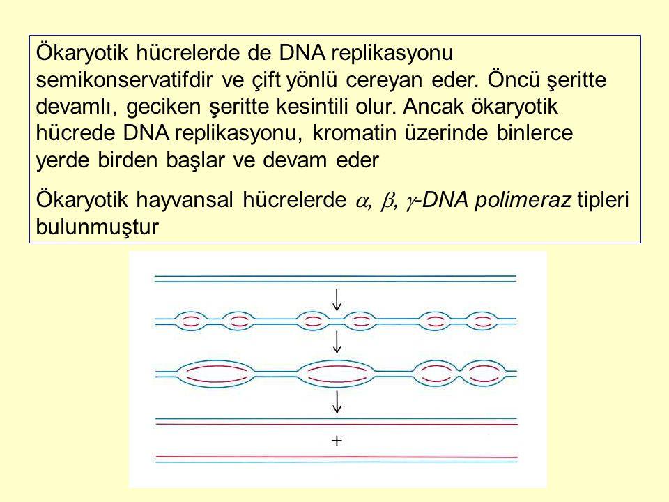 Ökaryotik hücrelerde de DNA replikasyonu semikonservatifdir ve çift yönlü cereyan eder. Öncü şeritte devamlı, geciken şeritte kesintili olur. Ancak ök