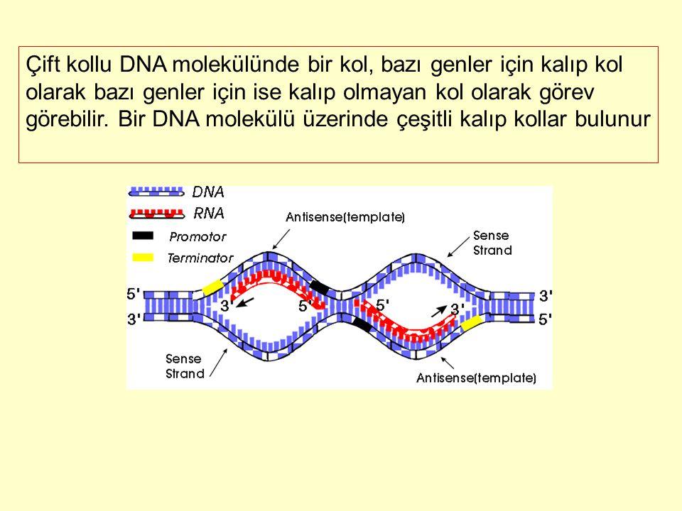 Çift kollu DNA molekülünde bir kol, bazı genler için kalıp kol olarak bazı genler için ise kalıp olmayan kol olarak görev görebilir. Bir DNA molekülü