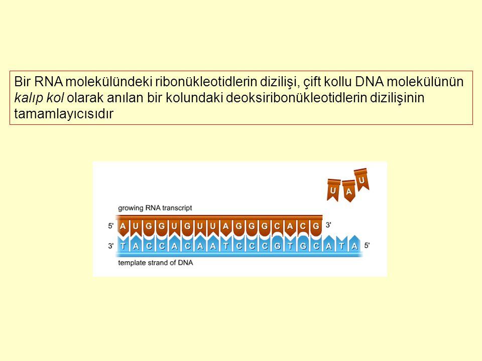 Bir RNA molekülündeki ribonükleotidlerin dizilişi, çift kollu DNA molekülünün kalıp kol olarak anılan bir kolundaki deoksiribonükleotidlerin dizilişin