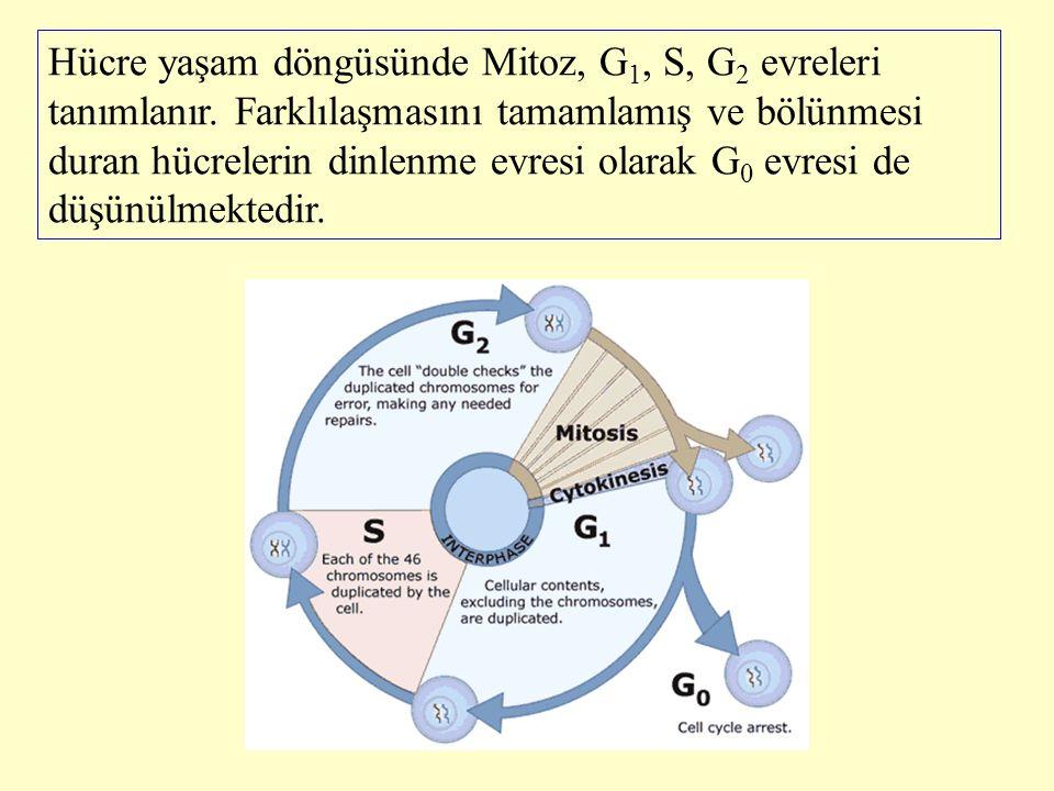 Hücre yaşam döngüsünde Mitoz, G 1, S, G 2 evreleri tanımlanır. Farklılaşmasını tamamlamış ve bölünmesi duran hücrelerin dinlenme evresi olarak G 0 evr