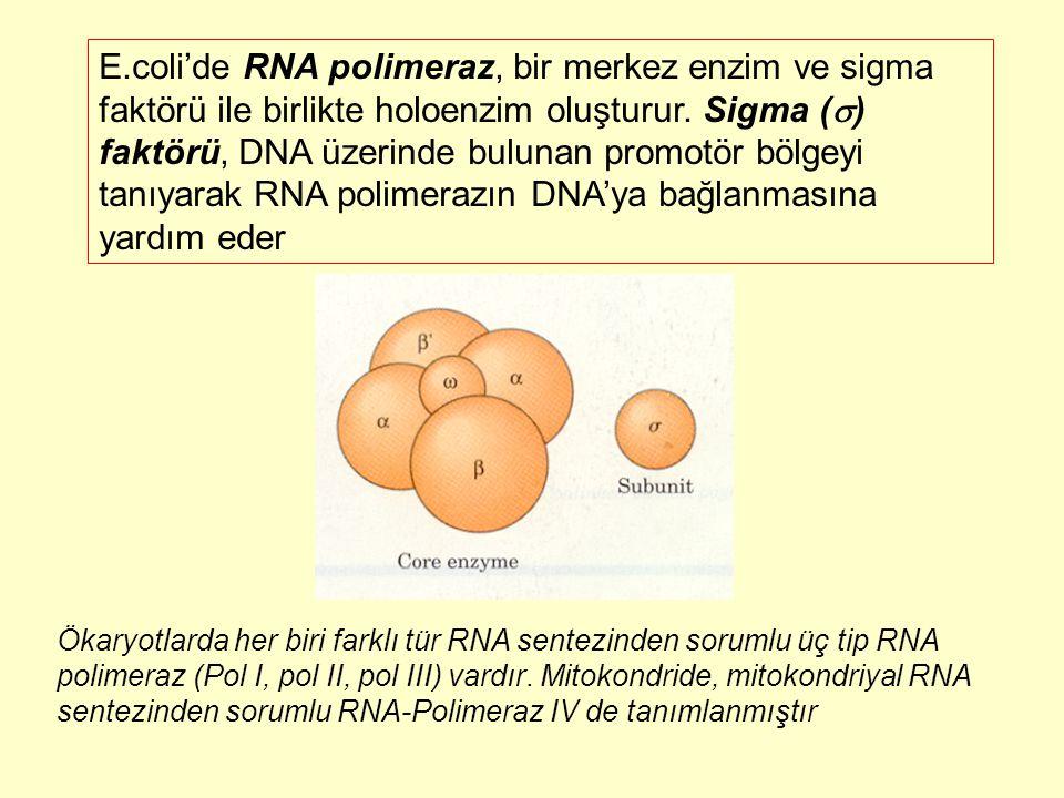 E.coli'de RNA polimeraz, bir merkez enzim ve sigma faktörü ile birlikte holoenzim oluşturur. Sigma (  ) faktörü, DNA üzerinde bulunan promotör bölgey