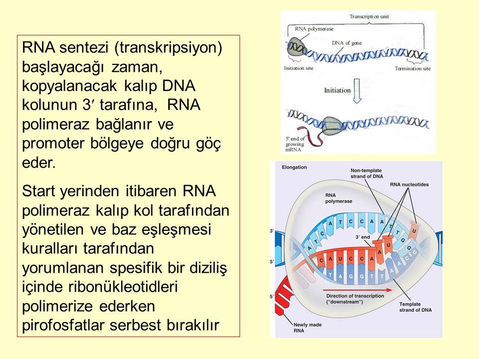 RNA sentezi (transkripsiyon) başlayacağı zaman, kopyalanacak kalıp DNA kolunun 3 tarafına, RNA polimeraz bağlanır ve promoter bölgeye doğru göç eder.