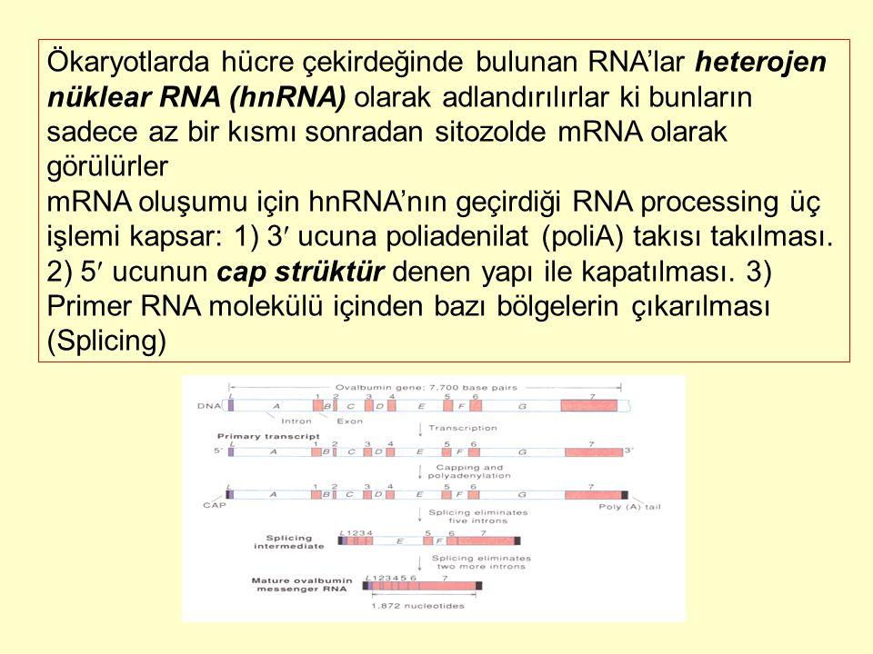 Ökaryotlarda hücre çekirdeğinde bulunan RNA'lar heterojen nüklear RNA (hnRNA) olarak adlandırılırlar ki bunların sadece az bir kısmı sonradan sitozold