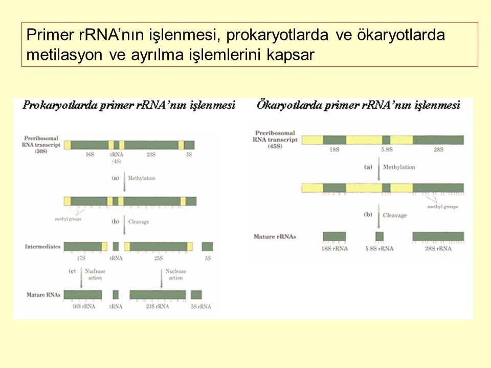 Primer rRNA'nın işlenmesi, prokaryotlarda ve ökaryotlarda metilasyon ve ayrılma işlemlerini kapsar