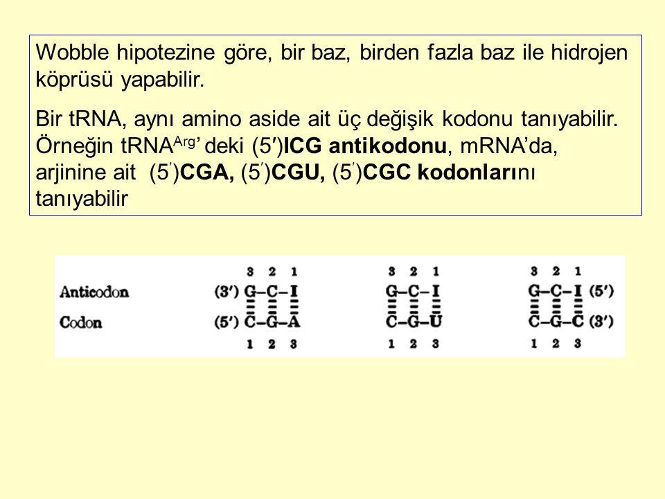 Wobble hipotezine göre, bir baz, birden fazla baz ile hidrojen köprüsü yapabilir. Bir tRNA, aynı amino aside ait üç değişik kodonu tanıyabilir. Örneği