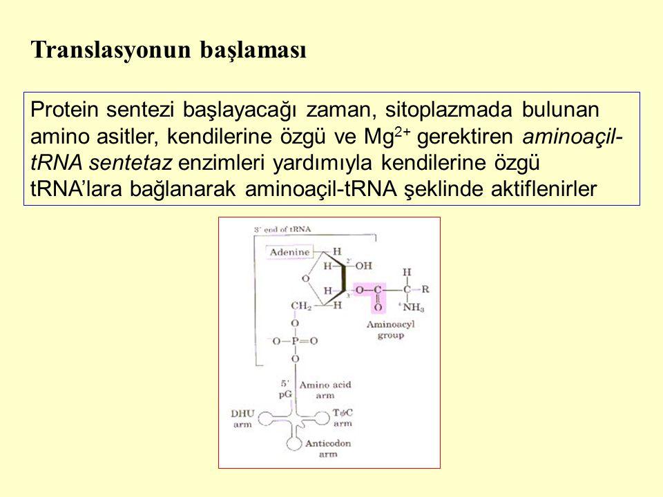 Protein sentezi başlayacağı zaman, sitoplazmada bulunan amino asitler, kendilerine özgü ve Mg 2+ gerektiren aminoaçil- tRNA sentetaz enzimleri yardımı