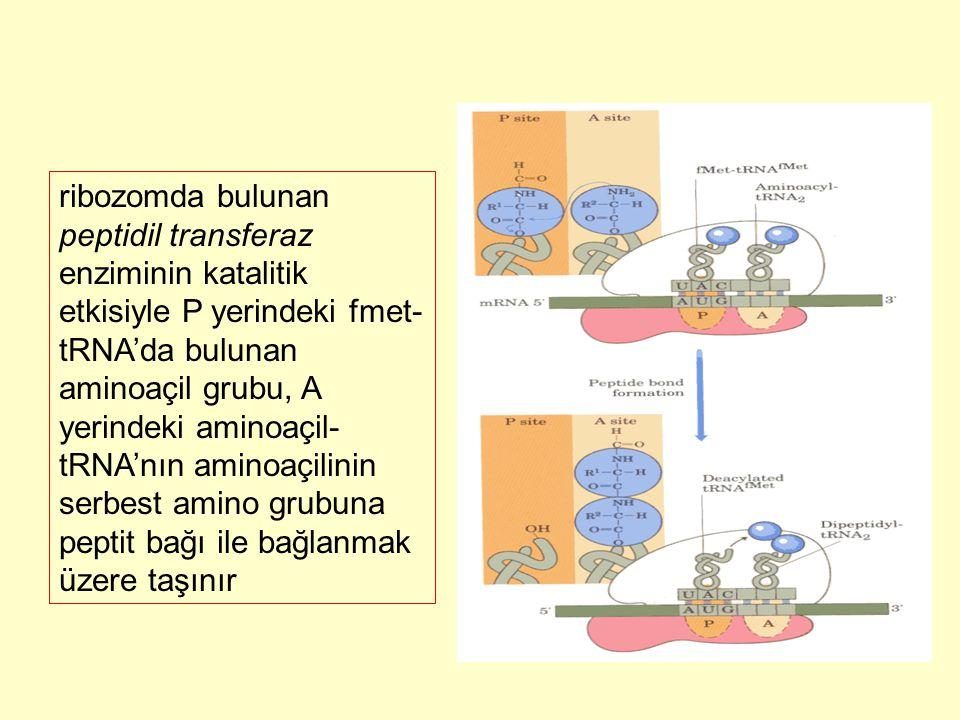 ribozomda bulunan peptidil transferaz enziminin katalitik etkisiyle P yerindeki fmet- tRNA'da bulunan aminoaçil grubu, A yerindeki aminoaçil- tRNA'nın
