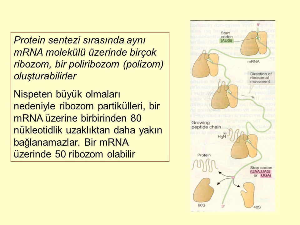 Protein sentezi sırasında aynı mRNA molekülü üzerinde birçok ribozom, bir poliribozom (polizom) oluşturabilirler Nispeten büyük olmaları nedeniyle rib