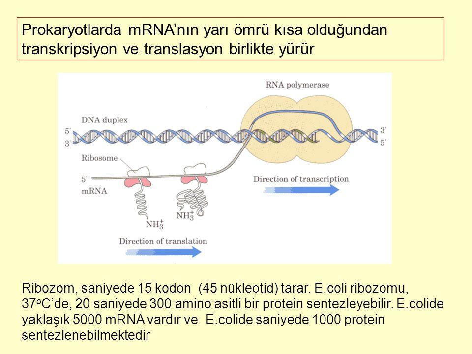 Prokaryotlarda mRNA'nın yarı ömrü kısa olduğundan transkripsiyon ve translasyon birlikte yürür Ribozom, saniyede 15 kodon (45 nükleotid) tarar. E.coli