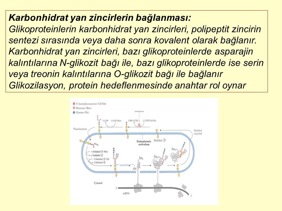 Karbonhidrat yan zincirlerin bağlanması: Glikoproteinlerin karbonhidrat yan zincirleri, polipeptit zincirin sentezi sırasında veya daha sonra kovalent