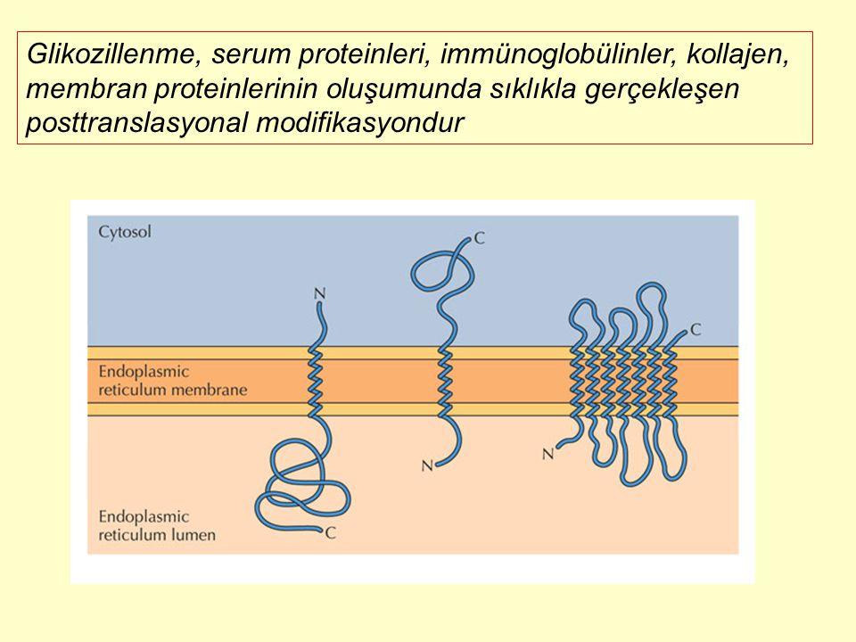Glikozillenme, serum proteinleri, immünoglobülinler, kollajen, membran proteinlerinin oluşumunda sıklıkla gerçekleşen posttranslasyonal modifikasyondu