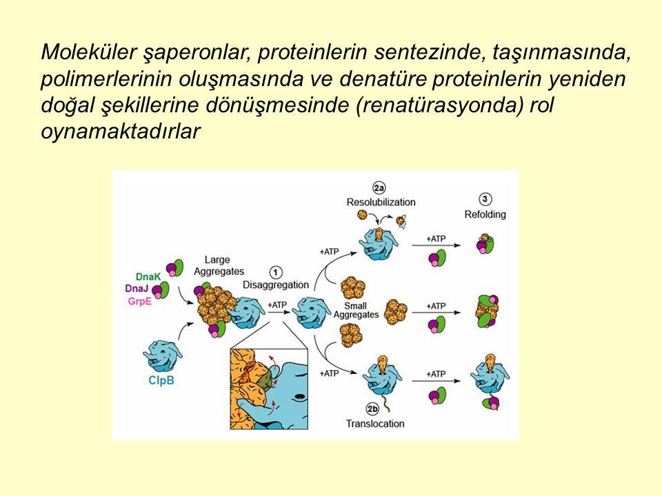 Moleküler şaperonlar, proteinlerin sentezinde, taşınmasında, polimerlerinin oluşmasında ve denatüre proteinlerin yeniden doğal şekillerine dönüşmesind