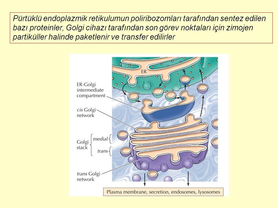 Pürtüklü endoplazmik retikulumun poliribozomları tarafından sentez edilen bazı proteinler, Golgi cihazı tarafından son görev noktaları için zimojen pa