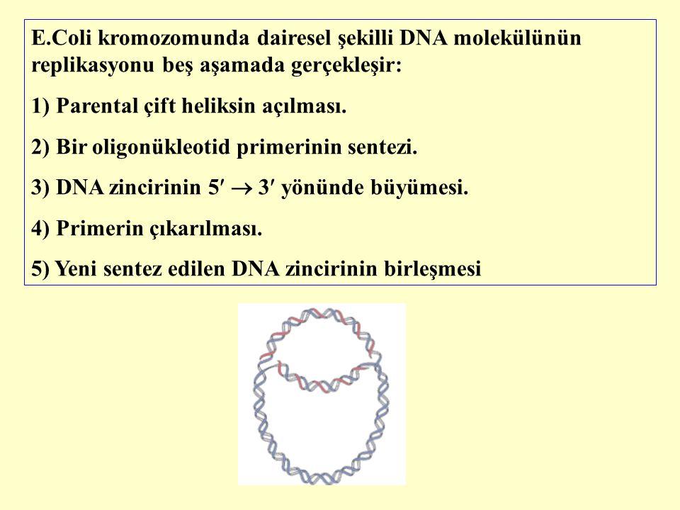 E.Coli kromozomunda dairesel şekilli DNA molekülünün replikasyonu beş aşamada gerçekleşir: 1) Parental çift heliksin açılması. 2) Bir oligonükleotid p