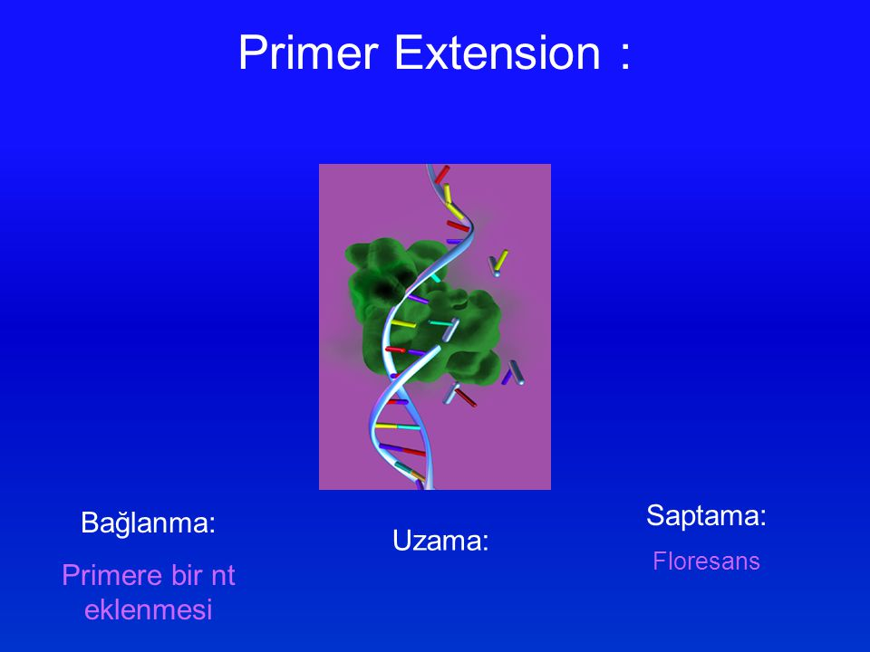 Primer Extension : Bağlanma: Primere bir nt eklenmesi Uzama: Saptama: Floresans