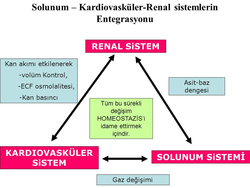Solunum – Kardiovasküler-Renal sistemlerin Entegrasyonu RENAL SiSTEM KARDIOVASKÜLER SiSTEM SOLUNUM SiSTEMİ Asit-baz dengesi Gaz değişimi Kan akımı etkilenerek -volüm Kontrol, -ECF osmolalitesi, -Kan basıncı Tüm bu sürekli değişim HOMEOSTAZİS'i idame ettirmek içindir.