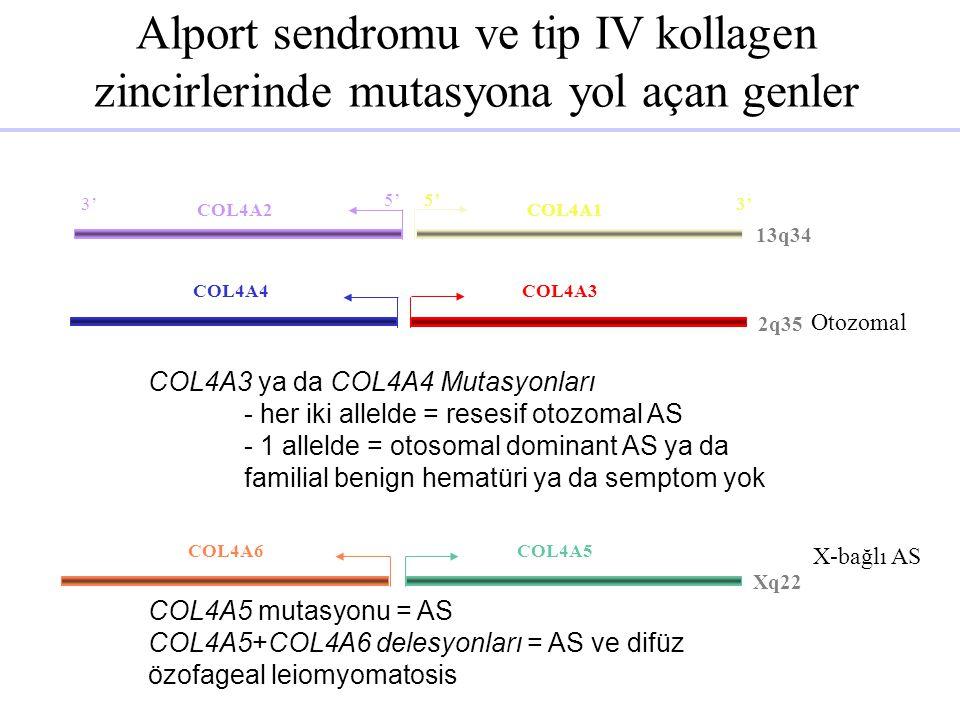 Alport sendromu ve tip IV kollagen zincirlerinde mutasyona yol açan genler COL4A4COL4A3 2q35 Xq22 COL4A6COL4A5 13q34 5' 3' 5' 3' COL4A2COL4A1 Otozomal