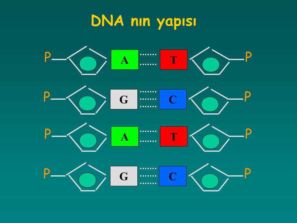 T P A P C P G P T P A P C P G P DNA nın yapısı