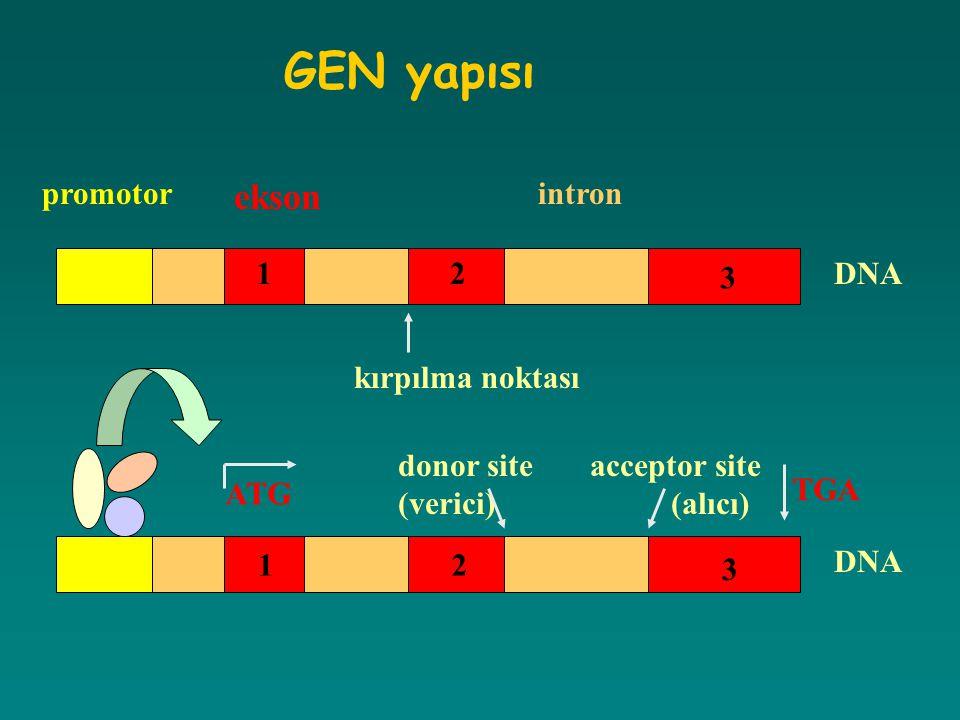 GEN yapısı promotor ekson intron DNA kırpılma noktası donor siteacceptor site (verici) (alıcı) 12 3 12 3 ATG TGA
