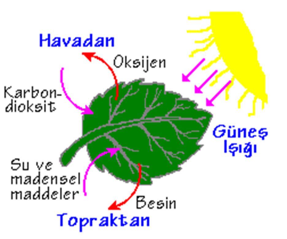 2- Bitkilerde fotosentezde görevli olan doku aşağıdakilerden hangisidir.