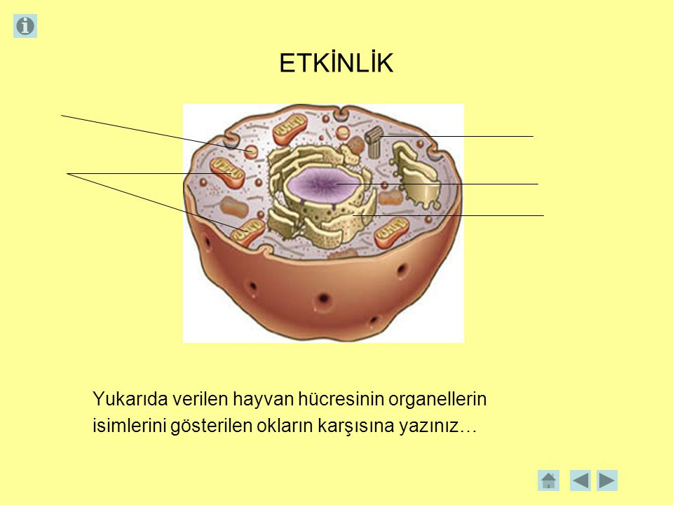 ETKİNLİK Yukarıda verilen hayvan hücresinin organellerin isimlerini gösterilen okların karşısına yazınız…