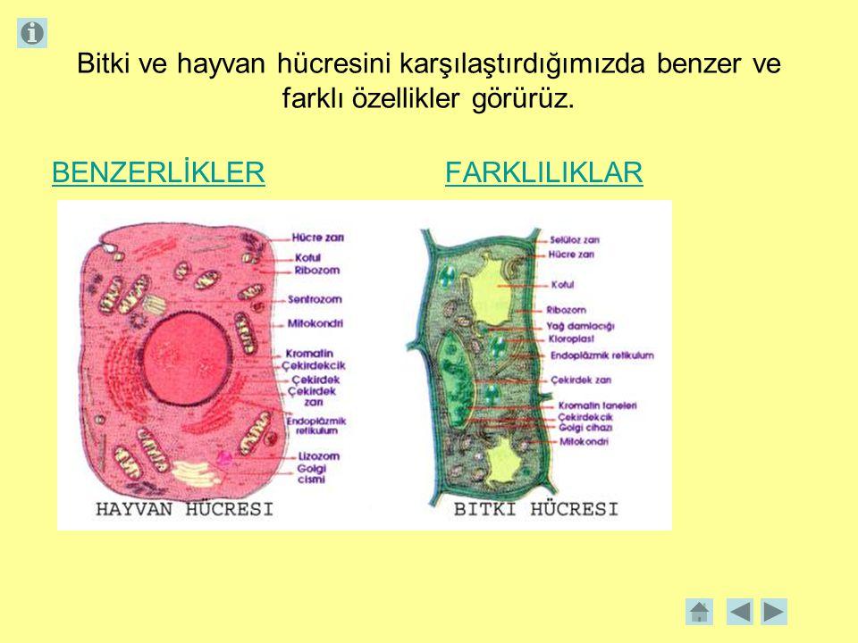 Bitki ve hayvan hücresini karşılaştırdığımızda benzer ve farklı özellikler görürüz. BENZERLİKLERFARKLILIKLAR
