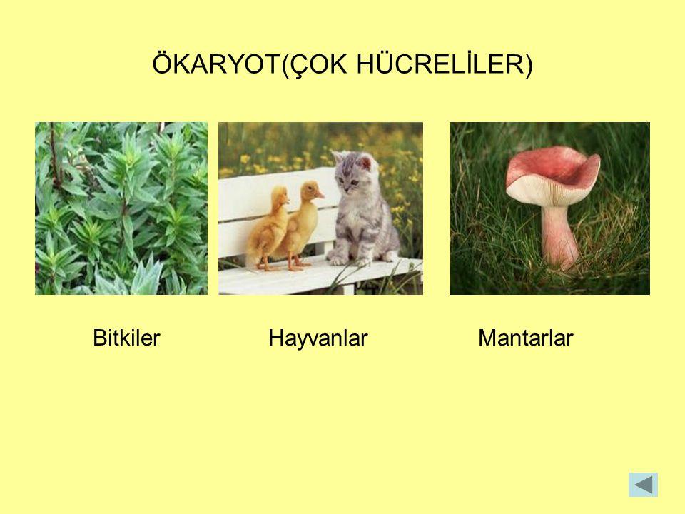 ÖKARYOT(ÇOK HÜCRELİLER) Bitkiler Hayvanlar Mantarlar