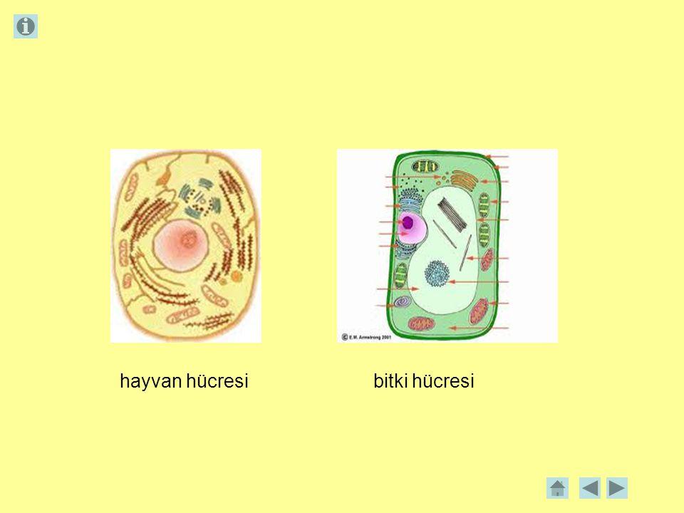  Tüm hücrelerin gelişmişlik düzeyleri aynı değildir.