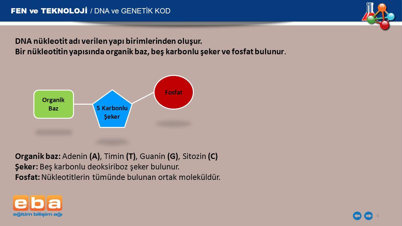 FEN ve TEKNOLOJİ / DNA ve GENETİK KOD 6 DNA nükleotit adı verilen yapı birimlerinden oluşur. Bir nükleotitin yapısında organik baz, beş karbonlu şeker