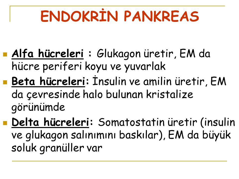 ENDOKRİN PANKREAS Alfa hücreleri : Glukagon üretir, EM da hücre periferi koyu ve yuvarlak Beta hücreleri: İnsulin ve amilin üretir, EM da çevresinde halo bulunan kristalize görünümde Delta hücreleri: Somatostatin üretir (insulin ve glukagon salınımını baskılar), EM da büyük soluk granüller var