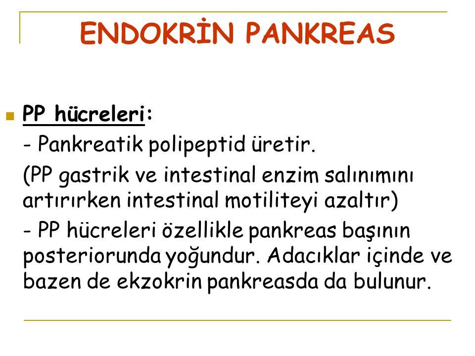 ENDOKRİN PANKREAS PP hücreleri: - Pankreatik polipeptid üretir.