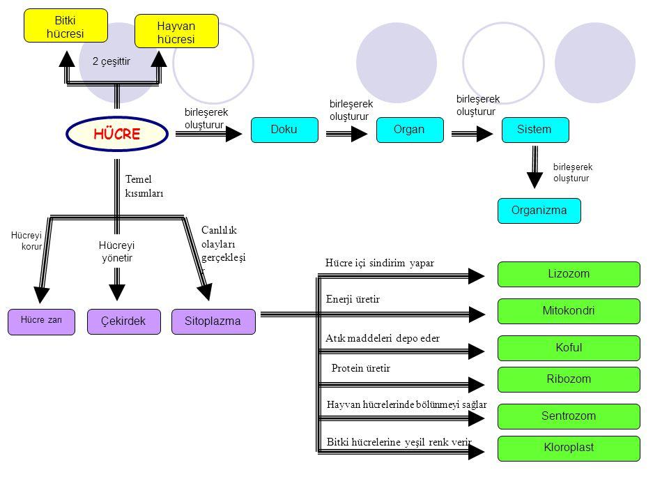 Bitki hücresi Hayvan hücresi Organizma SistemOrganDoku HÜCRE Temel kısımları ÇekirdekSitoplazma Hücre zarı birleşerek oluşturur birleşerek oluşturur b