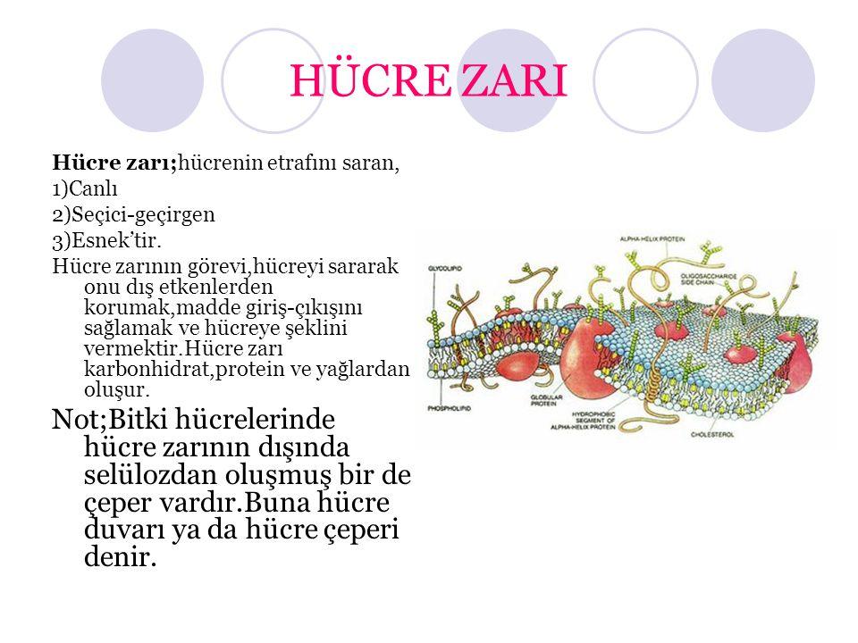 HÜCRE ZARI Hücre zarı;hücrenin etrafını saran, 1)Canlı 2)Seçici-geçirgen 3)Esnek'tir. Hücre zarının görevi,hücreyi sararak onu dış etkenlerden korumak