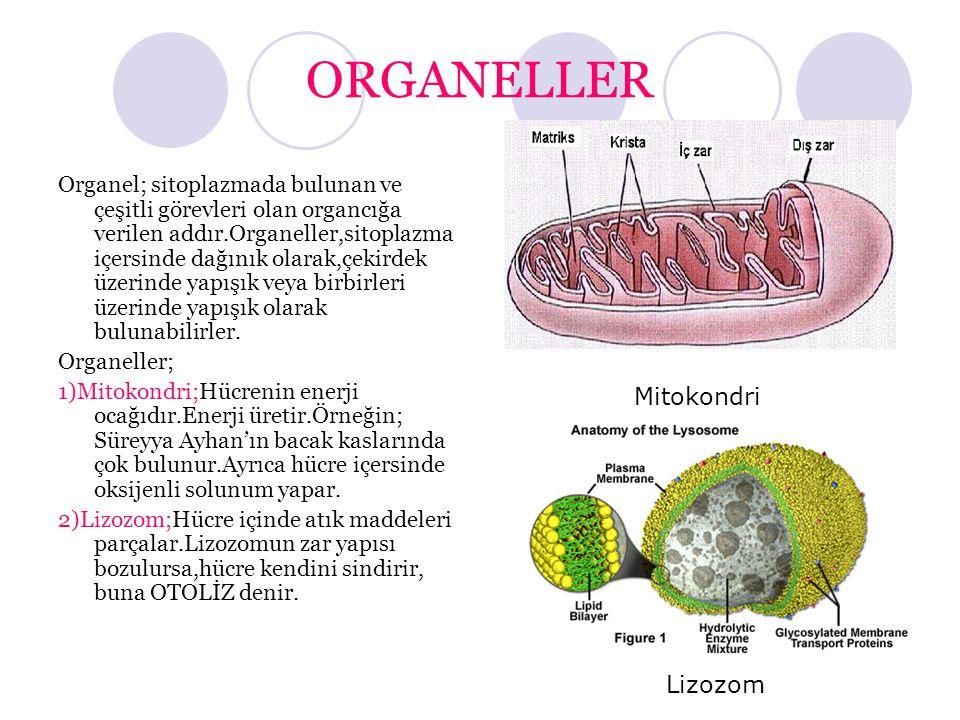 ORGANELLER Organel; sitoplazmada bulunan ve çeşitli görevleri olan organcığa verilen addır.Organeller,sitoplazma içersinde dağınık olarak,çekirdek üze