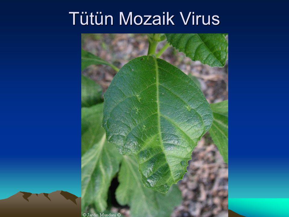 Tütün Mozaik Virus