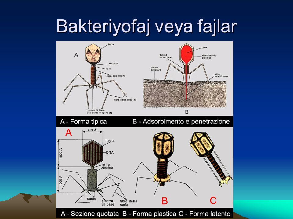 Bakteriyofaj veya fajlar