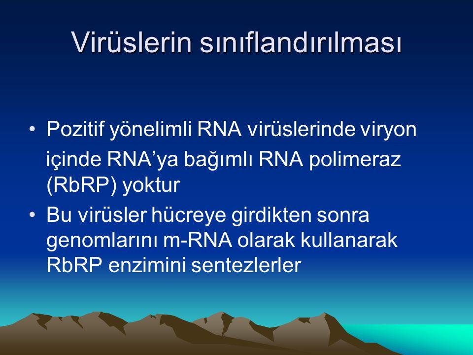 Virüslerin sınıflandırılması Pozitif yönelimli RNA virüslerinde viryon içinde RNA'ya bağımlı RNA polimeraz (RbRP) yoktur Bu virüsler hücreye girdikten sonra genomlarını m-RNA olarak kullanarak RbRP enzimini sentezlerler