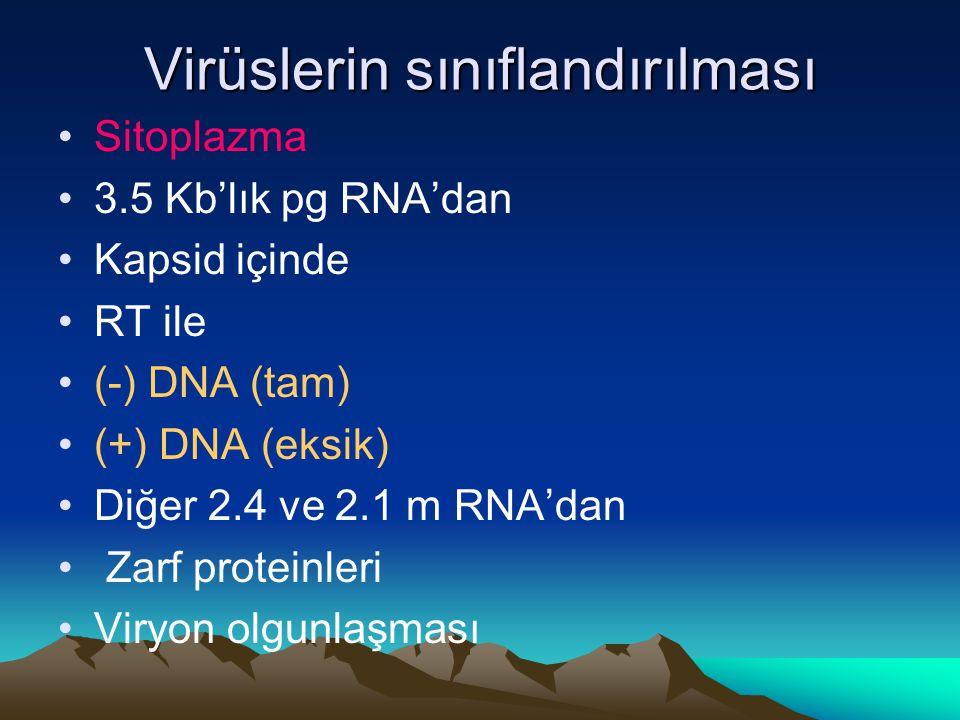 Virüslerin sınıflandırılması Sitoplazma 3.5 Kb'lık pg RNA'dan Kapsid içinde RT ile (-) DNA (tam) (+) DNA (eksik) Diğer 2.4 ve 2.1 m RNA'dan Zarf prote