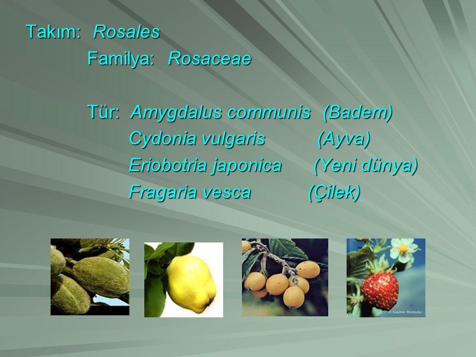 Takım: Rosales Familya: Rosaceae Familya: Rosaceae Tür: Amygdalus communis (Badem) Tür: Amygdalus communis (Badem) Cydonia vulgaris (Ayva) Cydonia vul