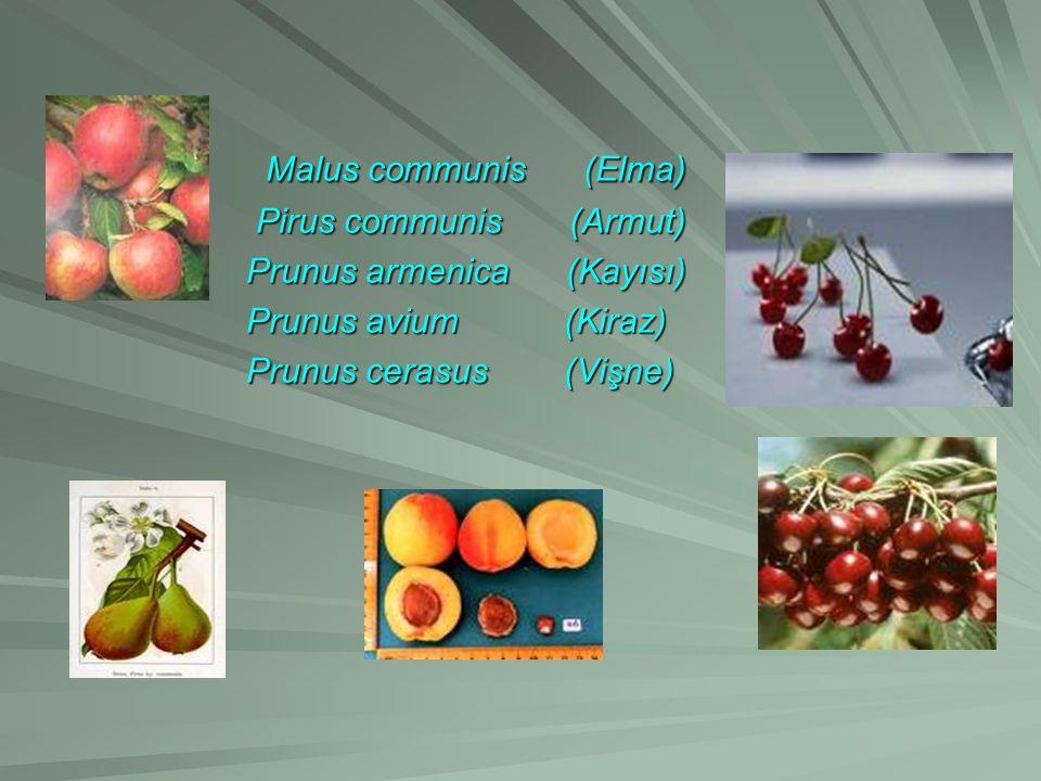 Malus communis (Elma) Malus communis (Elma) Pirus communis (Armut) Pirus communis (Armut) Prunus armenica (Kayısı) Prunus armenica (Kayısı) Prunus avium (Kiraz) Prunus avium (Kiraz) Prunus cerasus (Vişne) Prunus cerasus (Vişne)