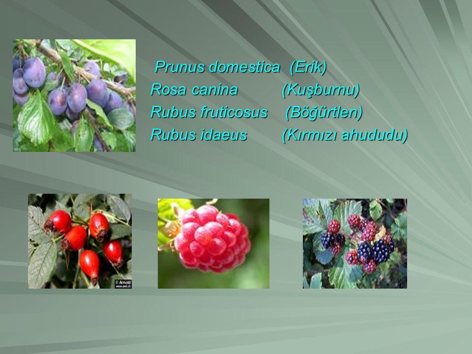 Prunus domestica (Erik) Prunus domestica (Erik) Rosa canina (Kuşburnu) Rosa canina (Kuşburnu) Rubus fruticosus (Böğürtlen) Rubus fruticosus (Böğürtlen) Rubus idaeus (Kırmızı ahududu) Rubus idaeus (Kırmızı ahududu)
