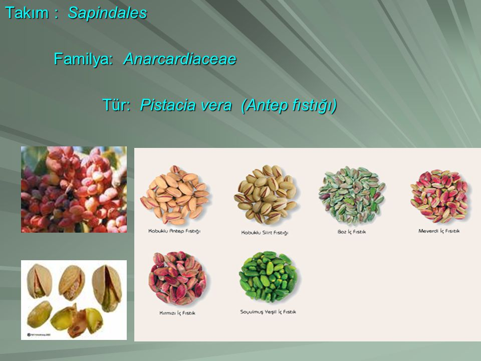 Takım : Sapindales Familya: Anarcardiaceae Familya: Anarcardiaceae Tür: Pistacia vera (Antep fıstığı) Tür: Pistacia vera (Antep fıstığı)