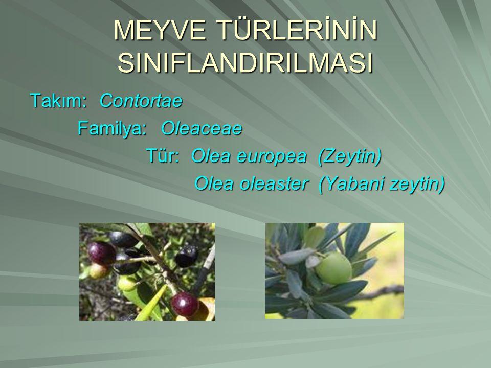 MEYVE TÜRLERİNİN SINIFLANDIRILMASI Takım: Contortae Familya: Oleaceae Tür: Olea europea (Zeytin) Olea oleaster (Yabani zeytin)