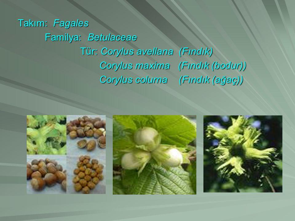 Takım: Fagales Familya: Betulaceae Familya: Betulaceae Tür: Corylus avellana (Fındık) Tür: Corylus avellana (Fındık) Corylus maxima (Fındık (bodur)) Corylus maxima (Fındık (bodur)) Corylus colurna (Fındık (ağaç)) Corylus colurna (Fındık (ağaç))