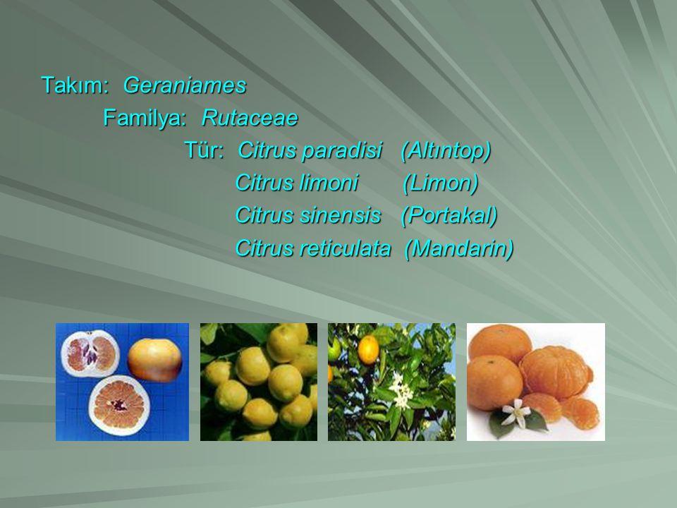 Takım: Geraniames Familya: Rutaceae Familya: Rutaceae Tür: Citrus paradisi (Altıntop) Tür: Citrus paradisi (Altıntop) Citrus limoni (Limon) Citrus lim