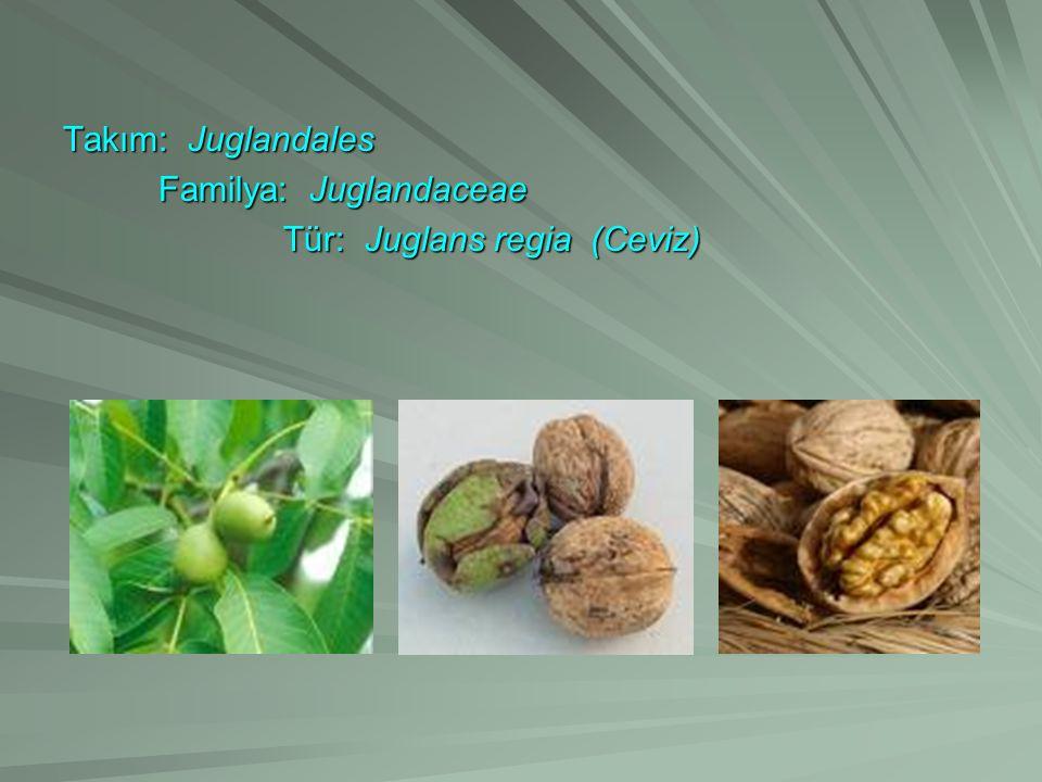 Takım: Juglandales Familya: Juglandaceae Familya: Juglandaceae Tür: Juglans regia (Ceviz) Tür: Juglans regia (Ceviz)