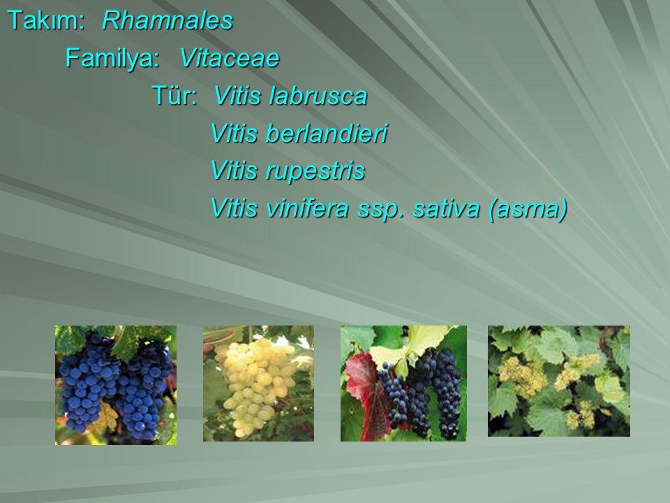 Takım: Rhamnales Familya: Vitaceae Tür: Vitis labrusca Vitis berlandieri Vitis rupestris Vitis vinifera ssp. sativa (asma)